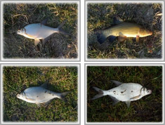 Ryby złowione na Zalewie Zemborzyckim